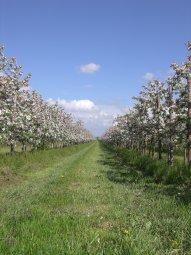 Obstblüte im Alten Land