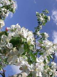 Altes Land Obstblüte